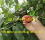 晚熟桃树苗哪里批发_湖北武汉晚熟桃树苗种植基地报价