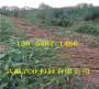 8月成熟桃苗哪里批发_广西贵港8月成熟桃苗主产区在哪里