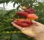 早熟桃樹苗哪里批發_山西臨汾早熟桃樹苗種植效益
