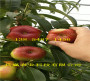 喜訊:貴安順9月成熟桃苗育苗基地在哪里
