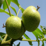 金冠8-18桃樹苗、油桃樹苗批發價格