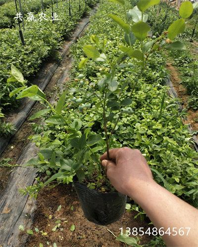 綠寶石藍莓苗主產區價格