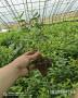 新高藍莓苗哪里才賣-基地才賣多少錢