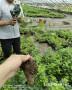 內蒙古呼倫貝爾云雀藍莓苗哪里有賣、云雀藍莓苗賣多少錢