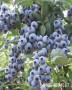天后藍莓苗這里有賣-基地才賣多少錢