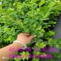 新聞:陜西求購藍莓苗藍莓苗都有哪些品種【苗木@新聞】