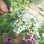 新聞:天水玉珠藍莓苗藍莓苗都有哪些品種[股份@有限公司]