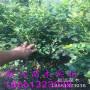 新闻:金华薄雾蓝莓苗一亩地栽多少棵【亩栽@亩产】