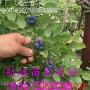 咨询:信阳4年地栽莱克西蓝莓苗@怎么样【免费提供技术】