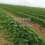 妙香二号草莓苗、妙香二号草莓苗价位
