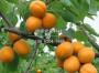 锦西大红杏树苗 锦西大红杏树苗价格