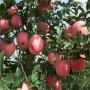 早熟苹果苗 早熟苹果苗行情