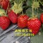 巢湖草莓苗多少钱一棵——《报价》