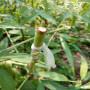 【价格报表】春晓桃树苗结果图片、小花黄金蜜4号桃树苗