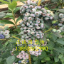 保濕郵寄北陸藍莓苗出售怎么調土質