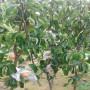 購買巴梨樹苗、購買巴梨樹苗基地價格