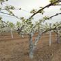 廠家供應大黃梨樹苗、大黃梨樹苗種植技術
