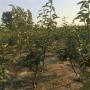 供應2公分梨樹苗、供應2公分梨樹苗好成活嗎