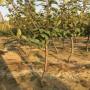 哪里可以買到2公分梨樹苗、2公分梨樹苗銷售價格