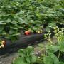 广西白草莓苗价格