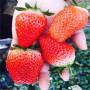 我想買明寶草莓苗、明寶草莓苗一畝地種多少