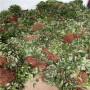 美德莱特草莓苗多少钱