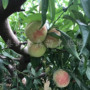 水蜜桃树苗附近基地、水蜜桃树苗几块一棵