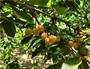 岱紅大櫻桃樹苗基地供應、岱紅大櫻桃樹苗什么價格