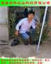 大棚栽植的三年生藍莓苗上市早 價格高華科公司