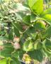 根系發達的藍豐藍莓苗怎樣管理華科公司