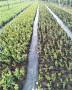 效益高的钱得勒蓝莓苗种植技术先容华科农业