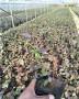 珠宝蓝莓苗上市早价格高(喀什地区)