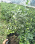着色一致的苔藓小蓝莓苗2019开始销售华科园艺