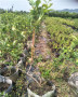 純正的薄霧藍莓苗的種植技術華科公司
