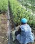 当年结果的奥尼尔蓝莓苗哪里便宜华科农业