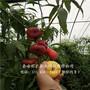 新闻:克拉玛依黑桃树苗优质批发