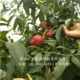 哪里有中油21油桃树苗 中油21油桃树苗市场价格