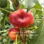 哪里有春曉桃樹苗,金華春曉桃樹苗優質批發