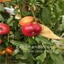 山东聊城中油21油桃树苗品种介绍-