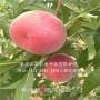 欽州錦春桃樹苗品種介紹-