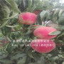哪里有中蟠13桃树苗,黄山中蟠13桃树苗品种介绍