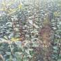 资讯:内蒙古呼伦贝尔早酥红梨苗栽培技术[技术@引导欢迎您