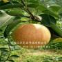 5公分柱状梨树苗怎么出售攀枝花柱状梨树苗