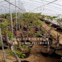 吉塞拉六號樹苗基地出售價格;四年生吉塞拉六號樹苗