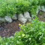 雞西密山維口藍莓苗——農業種植介紹