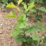 2米高大棉球山楂苗正宗品種