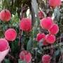 老品種黃桃