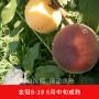 錦繡黃桃苗多少錢1棵、品種介紹、桃樹苗品種