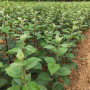 今年美国8号苹果苗供应商、美国8号苹果苗基地