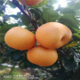 2020年早酥红梨树苗哪里有、早酥红梨树苗价格